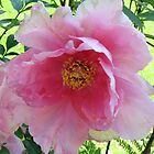 pink peony by cielleigh