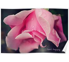 Curly Pink Rose Poster