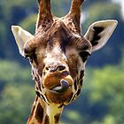 Rothschild Giraffe (Giraffa camelopardalis rothschildi). by Andrew Harker