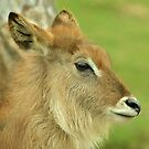 Young Waterbuck by neil harrison