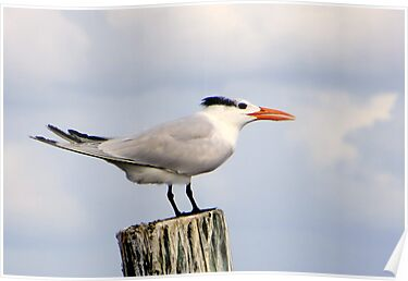Royal Tern by AuntDot