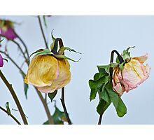 Dried Roses Photographic Print