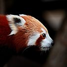 Red Panda Profile by Daniela Pintimalli