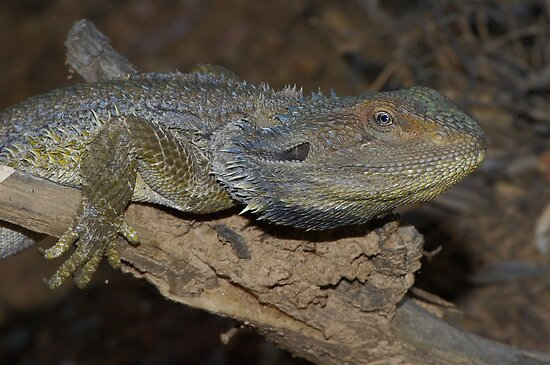 Pogona barbata (Eastern Bearded Dragon) by Russell Mawson