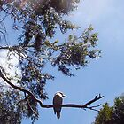 Kookaburra On My Street - Six - 19 11 12 by Robert Phillips