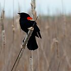 Red-winged Blackbird And Cattails 2 by Barry W  King