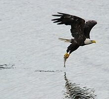 American Bald Eagle with Fish by Brad Lenear