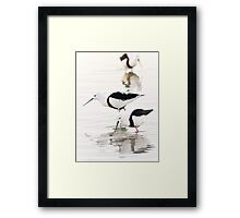 Banded stilts feeding Framed Print