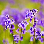 Bluebells Wood 12 by lc-photo