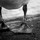Ringed Swan Leg by TehRen