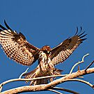 111812 Juvenile Red Tailed Hawk by Marvin Collins