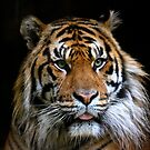 Sumatran Tiger 2 by Sheila Smith
