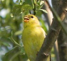 Goldfinch by Martha Medford