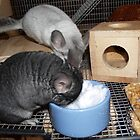 Chinchillas Huffin & Puffin Eating Snow by tulsa7035