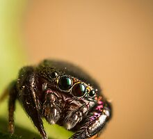 (Simaethula ZZ559) Jumping spider by Kerrod Sulter