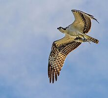 Osprey with fish by Brad Lenear