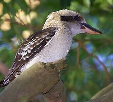 Laughing Kookaburra by Robert Elliott