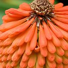 Kniphofia macro by mooksool