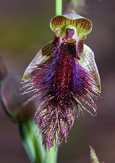 Calochilus robertsonii (Purple Beared-orchid) by Russell Mawson