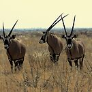 Gemsbok Herd by Donald  Mavor