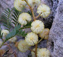 Wattle flower by Michelle Ricketts