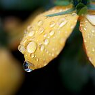 Raindrops on orange pansies by Morag Anderson
