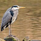 Grey Heron by Margaret S Sweeny