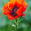 Oriental Poppy by M.S. Photography & Art