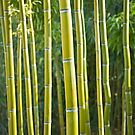 Bamboos by Delphimages