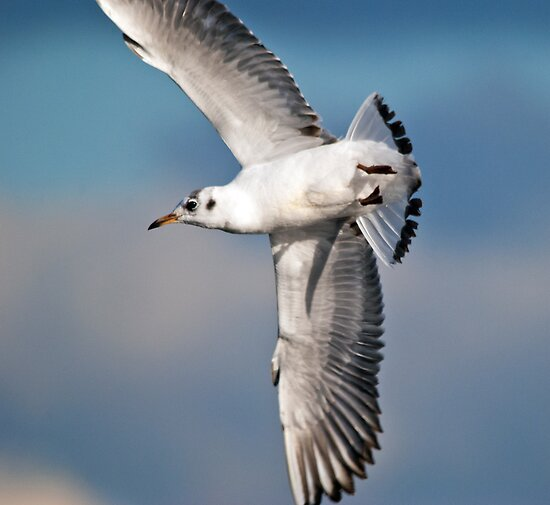 Black-headed Gull by M.S. Photography/Art