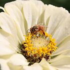 Honeybee on Zinnia angle 3 by AbigailJoy