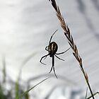 Garden Spider by AbigailJoy