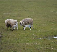Spring Lambs in Angus by northsea30