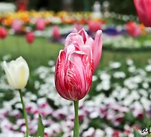 Pink Tulips by -aimslo-
