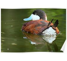 Ruddy Duck Reflections Poster