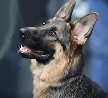 German shepherd by mrivserg
