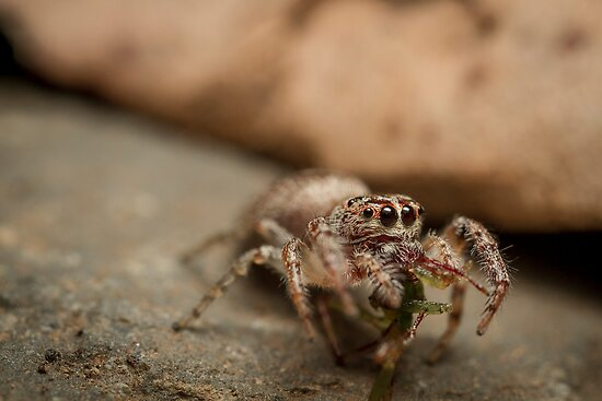 (Servaea vestita) Jumping Spider Feeding by Kerrod Sulter