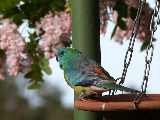 Red Rump Parrots, ground birds, have glowing colour. Adelaide. by Rita Blom