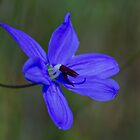 Blue Grass Lily (Agrostocrinum scabrum) by Elaine Teague