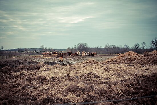 Cows by Ian Ross Pettigrew