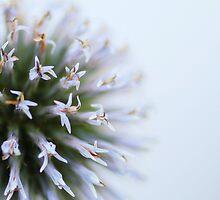 Echinops by brackenb