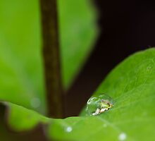 Rain drop on snowberry by Eric DeBord