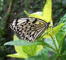 Black & White Butterfly by Katherine Burdon