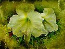 White Amaryllis - Belladonna Lily by MotherNature