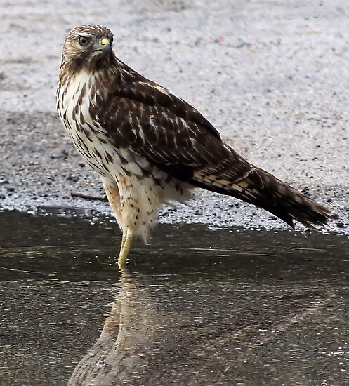 I, Am A Hawk by SuddenJim