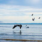 Pelican in Flight by -aimslo-
