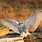 Snowy Owl (Bubo scandiacus) by Michael Russell