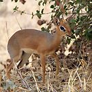 Dikdik, the tiny antelope by Hannah Nicholas