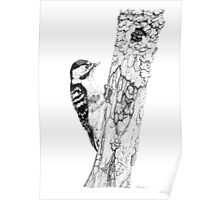 Greater Spotted Woodpecker Poster