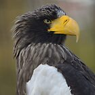 Steller's Sea Eagle .....profile by MaartenMR